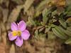 Pretty flower (Jackie & Dennis) Tags: india wayanad rwh kalpetta bansura ramblersworldwideholidays kuttiyamvayall spicesplantationshillstations banasuraislandretreat