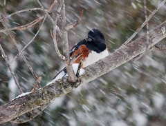 Male Towhee (Gerald Barnett) Tags: winter orange usa white black tree bird nature birds closeup rural outdoors illinois nikon bokeh outdoor availablelight wildlife c birding atmosphere naturallight diagonal pajaro wintertime inspirational contemplative ornithology birdwatching oiseau extraordinary bestpicture vogel uccello naturalcolors southernillinois bestpic wildbirds northamericanbirds bestphoto wildlifephotography naturalcolor treeswithsnow outdoorphotography perfectpicture perfectpic illinoiswildlife