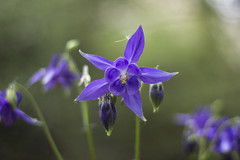 Purple star (Nuria Ocaa) Tags: morning flowers light mountain flower nature beauty walking 50mm star petals flora dof purple bokeh details sunday violet lilac springtime altemporda emporda spirng greenisgood 60d
