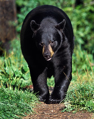 American Black Bear (Ursus americanus) (noor.khan.alam) Tags: bear trees black male green forest cub woods background unitedstatesofamerica large climbing american predator blackbear carnivore americanblackbear