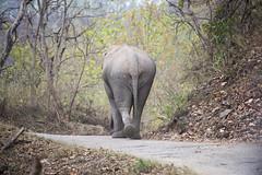 walking away (Shubh M Singh) Tags: park elephant jim bull national solitary corbett asiatic tusker makhna