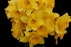 A host. (Les Fisher) Tags: flowers daffodils onblack