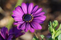 African daisy bloom (calspachmorris) Tags: flowers yard purple flowerbed daisy africandaisy