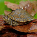 Mississippi Map Turtle (Graptemys pseudogeographica kohni)
