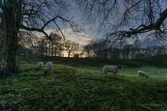 Wool & shadows (Paul2807) Tags: sunset shadow snow tree green silhouette spring sheep yorkshire northyorkshire skipton