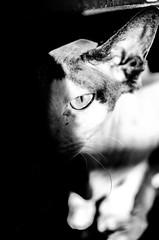 Vigilante en las sombras (nfaraldos) Tags: blackandwhite pet eye blancoynegro cat ojo shadows esfinge gato sphynx sombras mascota biancoenero