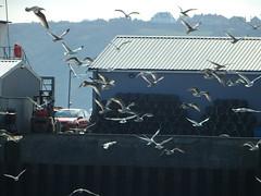 V Formation (Munki Munki) Tags: seagulls birds flying harbour flock scarborough fishmarket herringgulls vformation nyorks