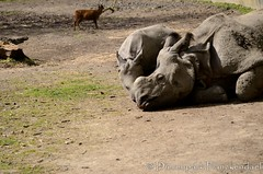 Indische Neushoorn - Rhinoceros unicornis - Indian rhinoceros (MrTDiddy) Tags: baby hoorn mammal indian rhino rhinoceros planckendael neus karamat dierenpark neushoorn indische zoogdier unicornis dierenparkplanckendael qabid