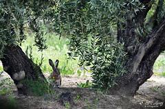 Liebre (E.M.Lpez) Tags: primavera animal campo mayo crdoba olivo 2016 olivar liebre albendin