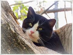 GATO (BLAMANTI) Tags: cat gatos