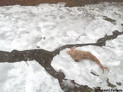 Dr. Takeshi Yamada and Seara (Coney Island sea rabbit) visited New Jersey for the Jersey Devil Expedition on March 26, 2015. Seara on the ice.  20150326 054=4015C (searabbits23) Tags: wild ny newyork sexy celebrity rabbit art hat fashion animal brooklyn asian coneyisland japanese star tv google king artist dragon god manhattan famous gothic goth uma ufo pop taxidermy vogue cnn tuxedo bikini tophat unitednations playboy entertainer oddities genius mermaid amc mardigras salvadordali performer unicorn billclinton seamonster billgates aol vangogh curiosities sideshow jeffkoons globalwarming takashimurakami pablopicasso steampunk damienhirst cryptozoology freakshow seara immortalized takeshiyamada museumofworldwonders roguetaxidermy searabbit barrackobama ladygaga climategate miniiceage maunderminimum minnesotaassociationofroguetaxidermists  manwithrabbit