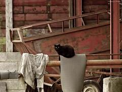 Black cat (Noemie.C Photo) Tags: red black detail look animal wall rural cat rouge rust chat noir w hangar machine rusty gato mur campaign campagne grange tracteur regard benne rouille briques tissu specific rouill