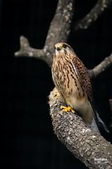 Cerncalo vulgar (Falco tinnunculus. Linnaeus, 1758) (EcoFoco juanma.coria) Tags: espaa primavera fauna atardecer andaluca aves cdiz hembra rapaces nidos alcaldelosgazules parquenaturallosalcornocales extremadur cerncalovulgarfalcotinnunculuslinnaeus1758espaa fleischernaturaleza