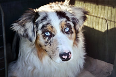Look into my eyes (Saramanzinali) Tags: dog pet animal cane australiano animali animale pastore cinofilo