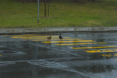 duck crossing2 (Lou Musacchio) Tags: street city nature cityscape ducks crosswalk urbanphoto natureinthecity lostducks