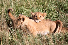 Willow and her cubs (IrinaSto) Tags: africa cute animal cub kenya lion bigcat wildanimal savannah babyanimal savari