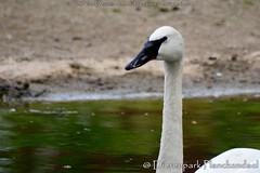trompetzwaan - Cygnus buccinator -  trumpeter swan (MrTDiddy) Tags: bird swan planckendael vogel zwaan trumpeter dierenpark cygnus trompet buccinator trompetzwaan dierenparkplanckendael