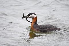 Red Necked Grebe (Peter Granka) Tags: nature harbour bronte halton redneckedgrebe petergranka