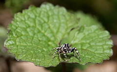 Trampoline for a Jumping Spider :) (Bonnie Ott) Tags: daniels jumpingspider pelegrinagalathea pepperedjumper