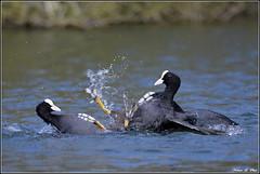 Foulque macroule ( Fulica atra ) (norbert lefevre) Tags: combat plumage foulque gouttelettes macroule