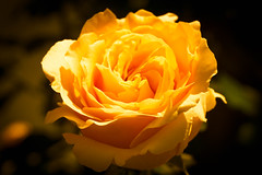 The Orange-Yellow Rose (J*Phillips) Tags: flowers orange macro beauty rose yellow garden soft peaceful fresh huntingtonlibrary backgrounds tranquil flowersplants