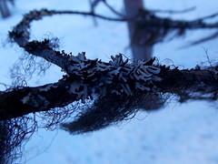 Lichen (Orjatar) Tags: winter snow tree finland lapland lichen