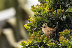 Wren (Merrik76) Tags: bird garden wildlife wren troglodytes essex britishwildbirds