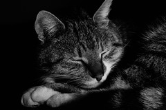 Sleepy Creedence (NikNak Allen) Tags: light sleeping shadow portrait blackandwhite pet white black face animal cat fur nose paw eyes close sleep tabby content ears catportrait