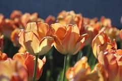 Capitol Tulips (Read2me) Tags: she flowers orange spring tulips dctrip x2 cye gamewinner thechallengefactory pregamesweepwinner pregameduelwinner challengeclubwinner
