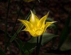 Tulip, Yellow (vern Ri) Tags: newyork centralpark doublefantasy conservatorygarden