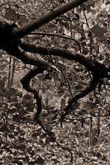 Vercors, 2015 (Olivier BERTRAND) Tags: trees blackandwhite nature monochrome forest canon landscape 50mm noiretblanc naturallight dslr paysage vercors arbre fort digitalphotography blackandwhitephotography canon50mm canonef50mmf14usm isre canonlens olivierbertrand canon5dmark2