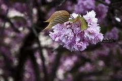 Porte de Saint-Cloud (Gerard Hermand) Tags: pink paris france tree fleur rose canon branch blossom bokeh arbre branche saintejeannedechantal eos5dmarkii formatpaysage gerardhermand 1604281396