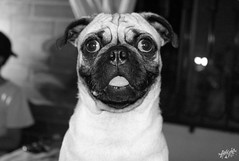 untitled (angie.qs) Tags: blackandwhite dog black blancoynegro dogs animals dark puppy darkness pug animales dogpuppy