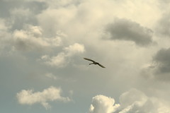 (Ali Gardener) Tags: sky swan flight nuages let labut mraky
