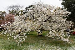 20160413-51-Cherry blossoms at Kyoto Botanic Gardens (Roger T Wong) Tags: travel holiday japan kyoto sakura cherryblossoms canonef1740mmf4lusm botanicgardens 2016 canon1740f4l canoneos6d rogettwong