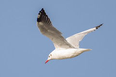Brown hooded Gull (The Treerunner) Tags: brownheadedgull