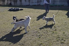 Play game (DanielOssino_EducatoreCinofilo) Tags: dog game dogs cane goldenretriever puppy golden husky play pit bull retriever class pitbull siberianhusky siberian gioca gioco cani cuccioli playgame giocare puppyclass toplay cioli