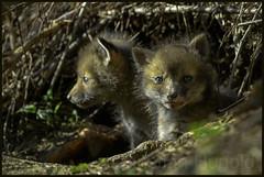 O HAI! (Christian Hunold) Tags: mammal pennsylvania fuchs vos redfox vulpesvulpes foxkit christianhunold fuchswelpen