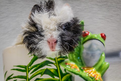 Anyone for coffee? (jan_clewett) Tags: pink hairy pet white black cute cup coffee fun nose guinea pig pretty coat frog whiskers unusual wiry
