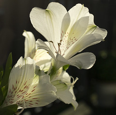Peace and tranquility (Ang1852) Tags: white flower macro green sunshine peace shadows tranquility alstroemeria