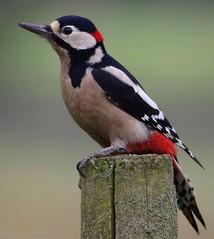 Great spotted woodpecker (121flip1) (Simon Dell Photography) Tags: uk wild detail macro bird up woodpecker close great spotted gsw