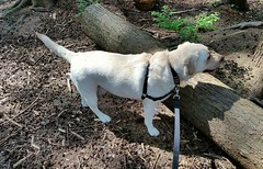 Gracie preparing to jump over a log (walneylad) Tags: dog pet cute puppy spring gracie lab labrador may canine labradorretriever