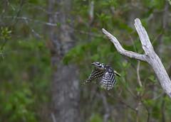 Downy woodpecker (tevans9129) Tags: bird woodpecker nikon tennessee downy select tc14e 400f28 d800e