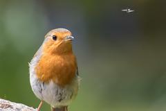 Robin spotting lunch (Molliehattie) Tags: home robin birds gardenhomewildlife