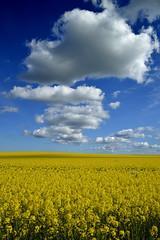 Spring (mnicol13) Tags: blue white fleur field yellow jaune spring nikon amor bretagne vert ombre bleu contraste blanc printemps colza 2016 ctes paisible d3200 plrin mnicol13