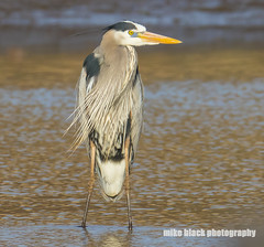 Great Blue Heron NJ shore (Mike Black photography) Tags: new blue sky bird heron nature water canon river lens shark big body year great birding nj shore jersey april 800mm 2016 5ds