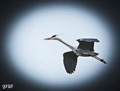 Graureiher... (peterphot) Tags: heron wildlife sony sachsen wildanimals reiher aprl tamron600