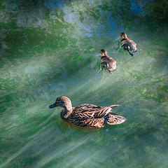 Desperately seeking Louie (glukorizon) Tags: green bird animal duck groen ditch dier hdr highdynamicrange eend vogel jong sloot clich younganimal 52weeksof2016