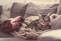 Chill Out Cat II (thethomsn) Tags: pet animal comfortable cat canon fur photography eyes dof lifestyle cutie depthoffield livingroom couch sofa decke hoody blanket fell chillout 50mmf14usm focusonforeground thethomsn