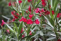 Nerium oleander 'Emile Sahut' (tanetahi) Tags: flowers red crimson rouge australia brisbane apocynaceae oleander botanicgardens delphine nerium mtcoottha neriumoleander laurierrose emilesahut